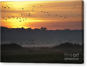 Pink Footed Geese At Holkham Norfolk Uk Canvas Print by John Edwards
