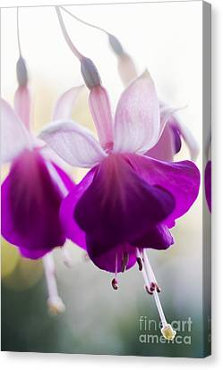 Pink Fuschia Flower Canvas Print by Mary Van de Ven - Printscapes