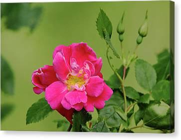 Pink Garden Rose Canvas Print by Debbie Oppermann