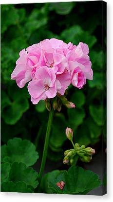 Canvas Print featuring the photograph Pink Geranium by Marilynne Bull