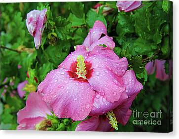 Pink Hibiscus After Rain Canvas Print