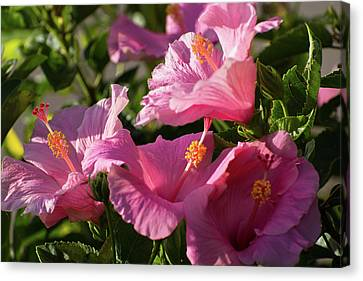Hibiscus Canvas Print - Pink Hibiscus Bush by Zina Stromberg