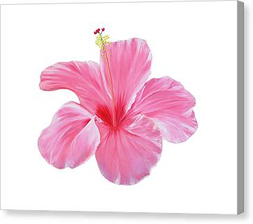 Canvas Print featuring the painting Pink Hibiscus by Elizabeth Lock