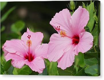 Pink Hibiscus Canvas Print by Ron Dahlquist - Printscapes