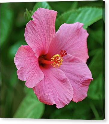 Pink Hibiscus Canvas Print by Sandy Keeton