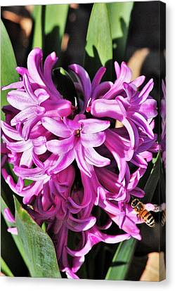 Canvas Print featuring the photograph Pink Hyacinth Flowers And Bee by Sheila Brown