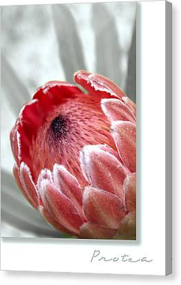 Pink Ice Protea Canvas Print by Holly Kempe