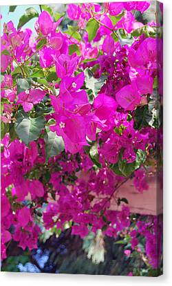 Pink In Rohodes Canvas Print by Armand Hebert