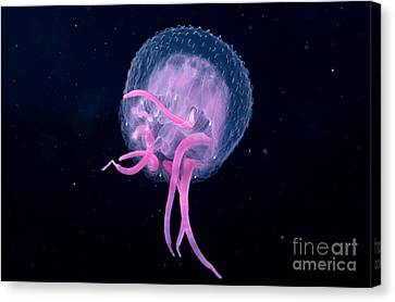 Pink Jellyfish Canvas Print by Dave Fleetham - Printscapes