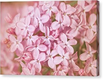 Pink Lilac Canvas Print by Cindy Grundsten