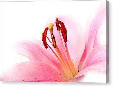 Pink Lilies 08 Canvas Print by Nailia Schwarz