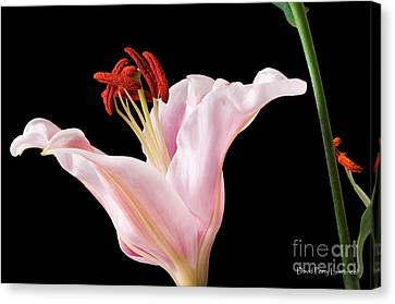 Canvas Print featuring the photograph Pink Oriental Lily With Bright Red Pollen by David Perry Lawrence