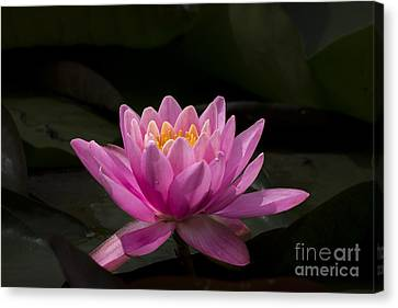 Pink Lotus Canvas Print by Andrea Silies