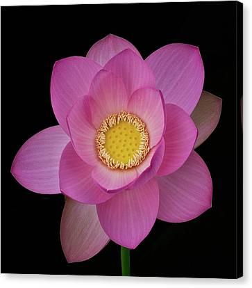 Pink Lotus In Full Bloom Canvas Print
