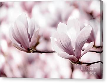 Pink Magnolia Canvas Print by Elena Elisseeva
