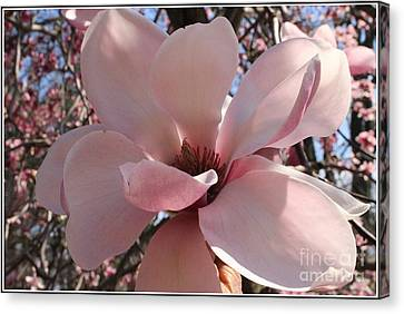 Pink Magnolia In Full Bloom Canvas Print by Dora Sofia Caputo Photographic Art and Design