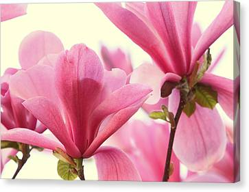 Pink Magnolias Canvas Print by Peggy Collins