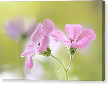 Pink Melody Canvas Print by Mandy Disher