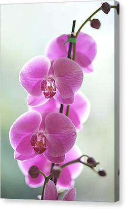Pink Orchids Canvas Print by Kicka Witte - Printscapes