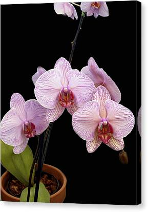 Pink Orchids Canvas Print by Kurt Van Wagner