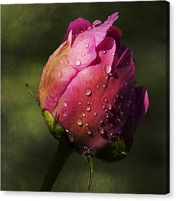 Pink Peony Bud With Dew Drops Canvas Print