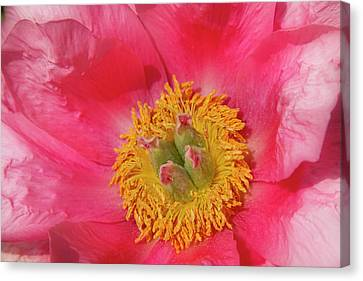 Pink Peony Flower Fine Art  Canvas Print by James BO  Insogna