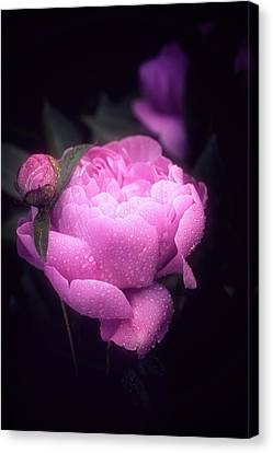 Pink Peony Canvas Print by Philippe Sainte-Laudy