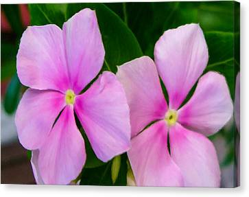 Pink Periwinkle Flower Canvas Print by Lanjee Chee