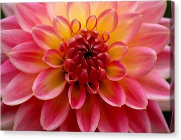 Pink Petals Canvas Print by Sonja Anderson