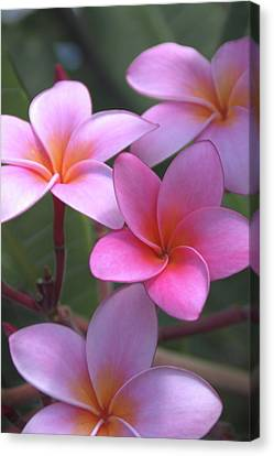 Pink Plumeria Canvas Print by Brian Harig