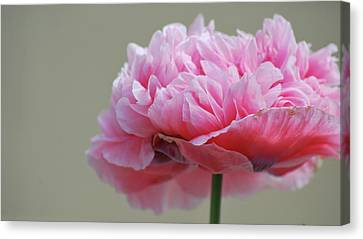 Canvas Print featuring the photograph Pink Poppy by Amee Cave