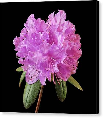 Pink Rhododendron  Canvas Print by Jim Hughes