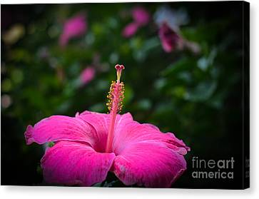 Canvas Print featuring the photograph Pink Romance by Kelly Wade