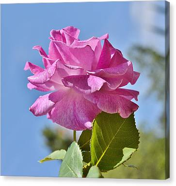 Pink Rose Against Blue Sky I Canvas Print by Linda Brody