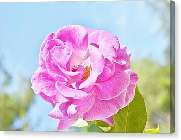 Pink Rose Against Blue Sky IIi Canvas Print by Linda Brody