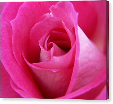 Pink Rose Canvas Print by Amy Fose
