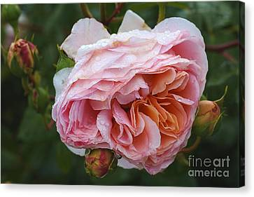 Canvas Print - Pink Rose And Added Promise by Joy Watson