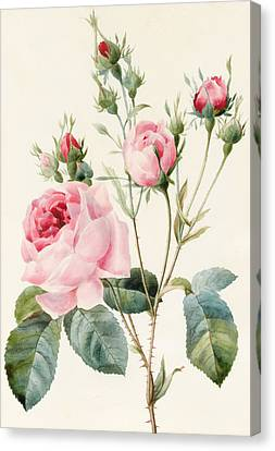Decorative Canvas Print - Pink Rose And Buds by Louise D'Orleans