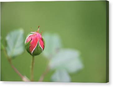 Pink Rose Bud Canvas Print by Kelly Hazel