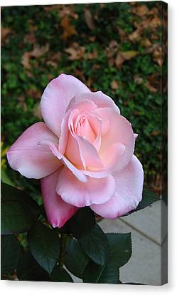 Canvas Print featuring the photograph Pink Rose by Carla Parris