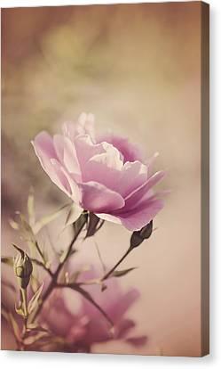 Pink Rose Canvas Print by Cindy Grundsten