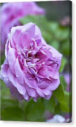 Pink Rose Flower Canvas Print by Frank Tschakert