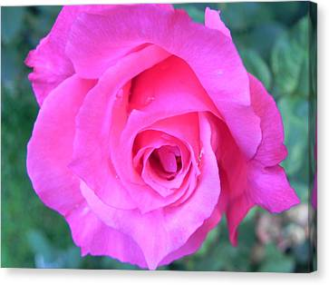 Pink Rose Canvas Print by John Parry