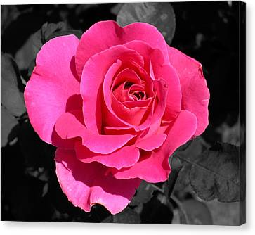 Perfect Pink Rose Canvas Print by Michael Bessler