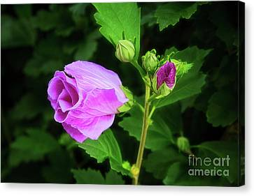 Pink Rose Of Sharon Canvas Print by Sharon McConnell