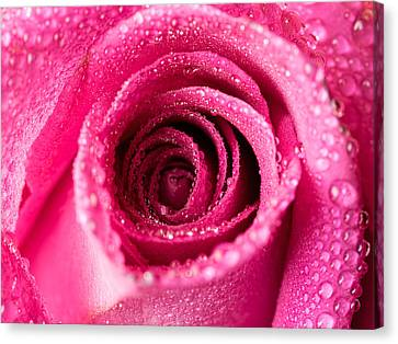 Pink Rose With Droplets Canvas Print