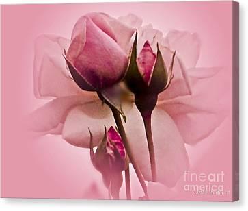 Roses In Pink Mist Canvas Print by Carol F Austin