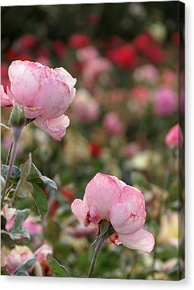 Pink Roses Canvas Print by Laurel Powell