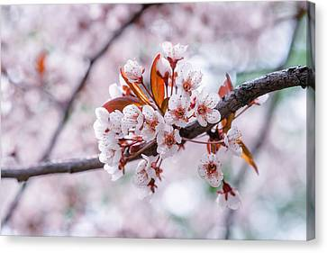 Canvas Print featuring the photograph Pink Sakura Cherry Blossom by Alexander Senin
