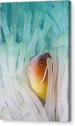 Pink Skunk Clownfish Canvas Print by Liquid Kingdom - Kim Yusuf Underwater Photography